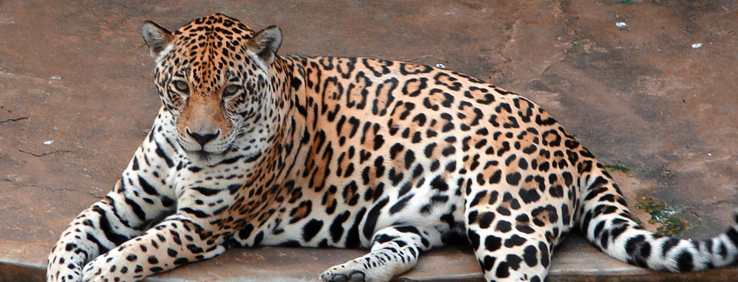 Leopard in Dehiwala Zoo